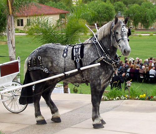 gray Percheron draft horse in show harness standing in front of wedding guests